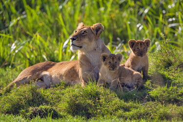 KEN8392AW Kenya, Masai Mara, Musiara Marsh, Narok County. A lioness with her two 3 month old cubs resting in the heart of Musiara Marsh.