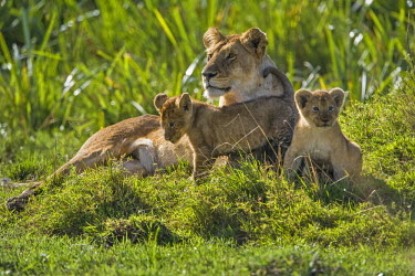 KEN8393AW Kenya, Masai Mara, Musiara Marsh, Narok County. A lioness with her two 3 month old cubs resting in the heart of Musiara Marsh.