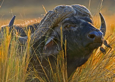 KEN8433AW Kenya, Masai Mara, Musiara Marsh, Narok County. A male buffalo stands alert in tall red oat grass.