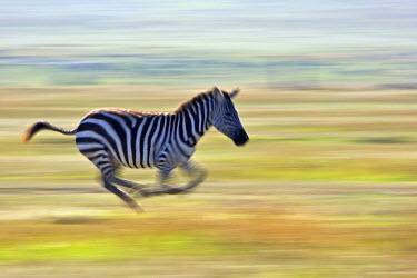 KEN8448AW Kenya, Masai Mara, Narok County. Plains Zebra running from a predator.