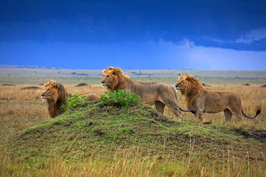 KEN8457AW Kenya, Masai Mara, Paradise Plain, Narok County. Three male lions alert to the presence of lionesses.