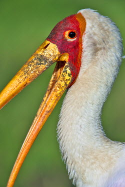 Kenya, Masai Mara, Narok County. Yellow-Billed Stork also sometimes referred to as a Wood Ibis.