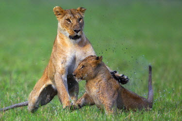 KEN8536AW Kenya, Masai Mara, Musiara Marsh, Narok County. Lioness play fighting with one of her year old cubs in the marsh.
