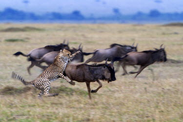 KEN8569AW Kenya, Masai Mara, Narok County. One of a coalition of three male cheetahs hunting wildebeest during the dry season. The male has snagged the wildebeest calf using its razor sharp dew claw heloing to...