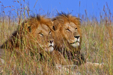 KEN8587AW Kenya, Masai Mara, Narok County. Two adult male lions resting among the long red oat grass while out patrolling their territory.