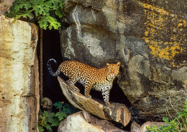 KEN8594AW Kenya, Masai Mara, Mara North Conservancy, Mara Buffalo Rocks, Narok County. A female leopard emerges early in the morning from the cave where she has hidden her two cubs.
