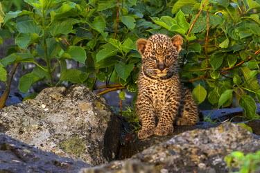 KEN8614AW Kenya, Masai Mara, Mara North Conservancy, Mara Buffalo Rocks, Narok County. A ten week old male leopad cub early in the morning at the rocky outcrop where it was born.