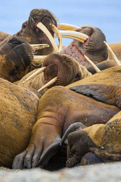 Norway, Arctic, Svalbard, Nordaustlandet, Torelineset. A herd of Atlantic walruses lazing on a beach. These moustached, long-tusked marine mammals are found near the Arctic circle.