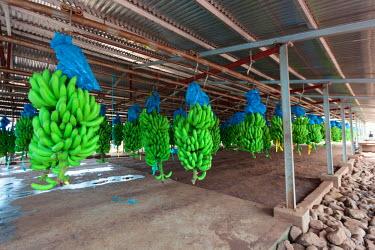 AF07ALA0057 Africa, Cameroon, Tiko. Bunches of bananas at banana plantation.