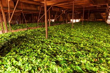 AF07ALA0075 Africa, Cameroon, Buea. Tea leaves at Tole Tea Estate.