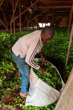 AF07ALA0076 Africa, Cameroon, Buea. Man bagging tea leaves at Tole Tea Estate.