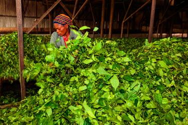 AF07ALA0078 Africa, Cameroon, Buea. Woman bagging tea leaves at Tole Tea Estate.