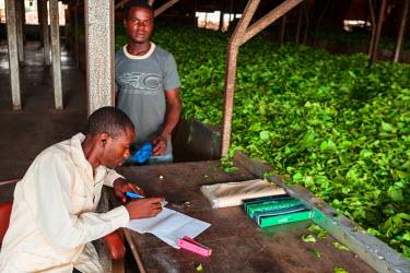 AF07ALA0081 Africa, Cameroon, Buea. Men working at Tole Tea Estate.