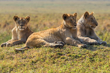 KEN8292 Kenya, Masai Mara, Narok County. A pride of lions rests on a mound overlooking the plains of Masai Mara National Reserve.