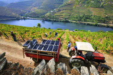 POR7451AW Grapes harvest along the Douro river, near Covelinhas. Alto Douro, a Unesco World Heritage Site, Portugal