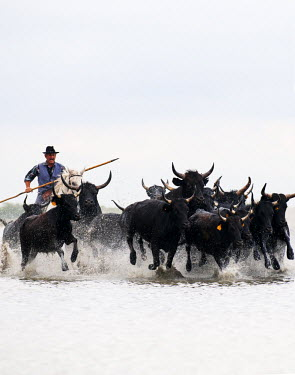 FRA8076AW Black bulls of Camargue and their herder running through the water, Camargue, France