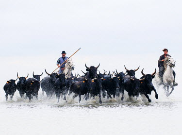 FRA8078AW Black bulls of Camargue and their herders running through the water, Camargue, France