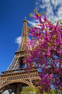 EU09BJN0982 Pink blossoming tree below the Eiffel Tower, Paris, France.