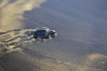 SA08CBA0138 Central America, El Salvador, Pacific Ocean, turtle hatchlings.