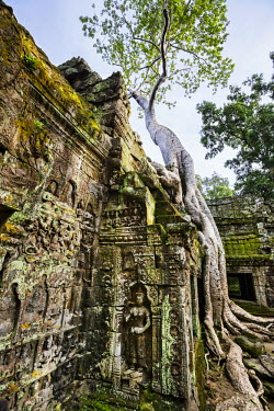 CMB1352 Cambodia, Ta Prohm, Siem Reap Province. The beautiful ruins of the 12th century Buddhist temple of Ta Prohm which was left untouched by archaeologists except for the clearing of paths and structural s...