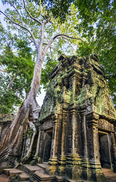 CMB1353 Cambodia, Ta Prohm, Siem Reap Province. The beautiful ruins of the 12th century Buddhist temple of Ta Prohm which was left untouched by archaeologists except for the clearing of paths and structural s...