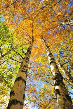 POR7508AW Birch trees. Autumn in the Serra da Estrela Nature Park, Portugal