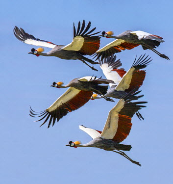 UGA1430 Uganda, Sipi. Grey Crowned Cranes in flight.  This striking species is the national bird of Uganda.