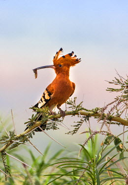 UGA1401 Uganda, Kidepo. An African Hoopoe with a grub in its bill perched on an Acacia tree in the Kidepo Valley National Park which covers 1,436 sq km of wilderness in the spectacular northeast of Uganda.
