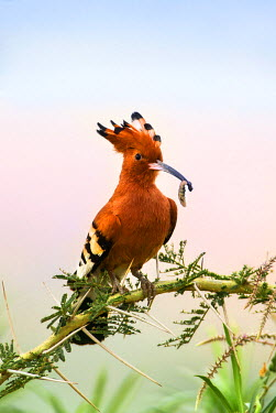 UGA1402 Uganda, Kidepo. An African Hoopoe with a grub in its bill perched on an Acacia tree in the Kidepo Valley National Park which covers 1,436 sq km of wilderness in the spectacular northeast of Uganda.