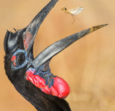 UGA1409 Uganda, Kidepo. A male Abyssinian Ground-hornbill catching an insect in its large bill. This uncommon pedestrian species of hornbill is found in the semi-arid bush and woodland country of northern Uga...