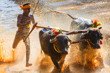 IN04336 Kambala, traditional buffalo racing, Kerala, India