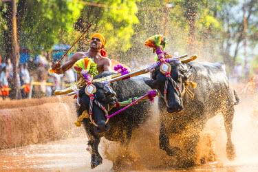IN04339 Kambala, traditional buffalo racing, Kerala, India