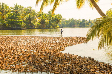 IN04360 Ducks being herded along the waterway, Kerala backwaters, nr Alleppey, (or Alappuzha), Kerala, India