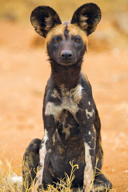 KEN8768 Kenya, Laikipia County, Laikipia. A juvenile wild dog showing its blotchy coat and rounded ears.