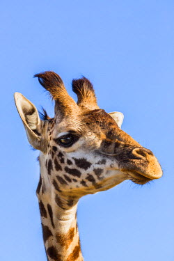 KEN8799 Kenya, Narok County, Masai Mara.  A young Maasai giraffe.