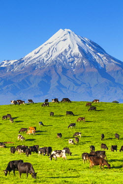 NZ01260 Mount Taranaki (Egmont) and grazing dairy cows, Taranaki, North Island, New Zealand