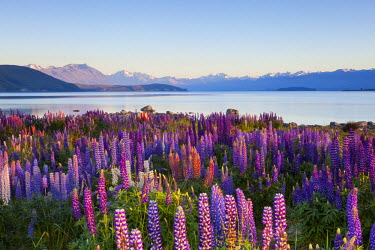 NZ02507 Wild lupins, Lake Tekapo, Mackenzie Country, Canterbury, South Island, New Zealand