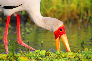 TZ3347 Yellow-billed stork feeding in a backwater of the Rufiji River, Selous Game Reserve, Tanzania