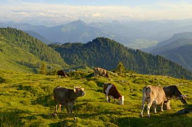 GER7963AW Cows, Reit im Winkl, Bavaria, Germany