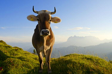 GER7964AW Cows, Reit im Winkl, Bavaria, Germany