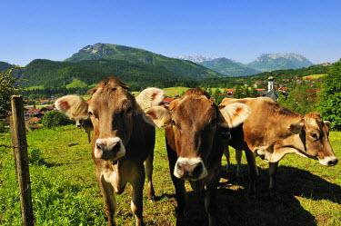 GER8091AW Cows, Reit im Winkl, Bavaria, Germany