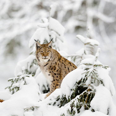 FVG002093 Germany, Bavaria, Linci , Lynx in the forest under an intense snowfall