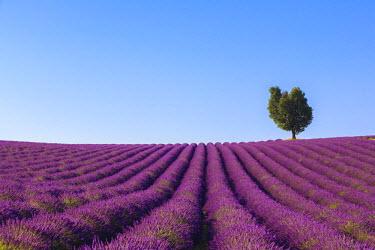 FVG003115 France, Provence-Alpes-Cote d'Azur, Plateau of Valensole, Lavender Field