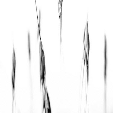 FVG003263 Italy, Friuli-Venezia Giulia, Abstract image of corn field