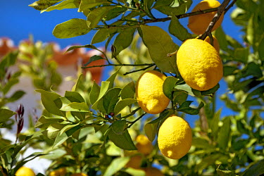 POR7926AW Lemons on a tree, Alentejo, Portugal