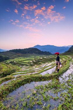 VIT0651AW Vietnam, Sapa. Red Dao woman on rice paddies at sunrise (MR)