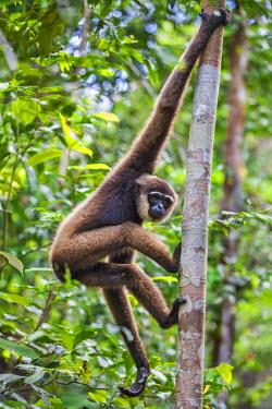 IDA0423 Indonesia, Central Kalimatan, Tanjung Puting National Park. A Bornean white-bearded Gibbon.