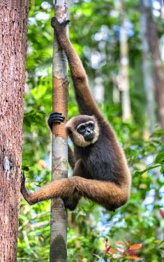 IDA0424 Indonesia, Central Kalimatan, Tanjung Puting National Park. A Bornean white-bearded Gibbon.