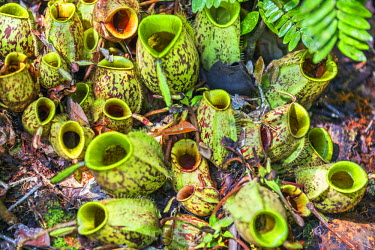 IDA0428 Indonesia, Central Kalimatan, Tanjung Puting National Park. Carnivorous plants of the genus Nepenthes, commonly known as Pitcher Plants.