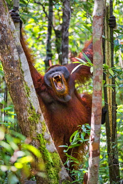 IDA0429 Indonesia, Central Kalimatan, Tanjung Puting National Park. A male Orangutan with his mouth open wide.